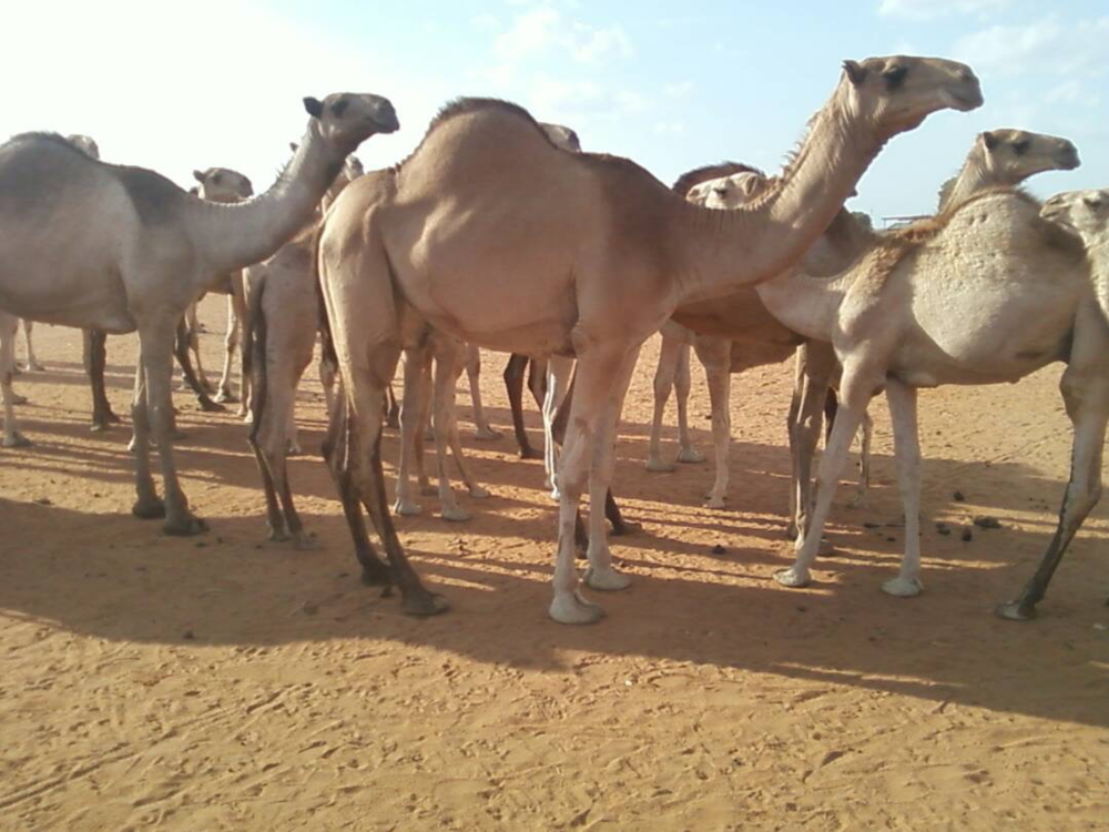 The camels that community members use to carry supplies in Tana River county